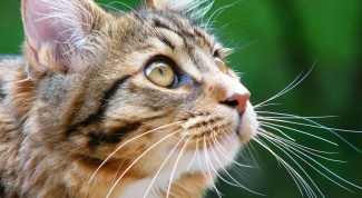 How to treat cough in cat
