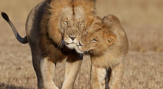 Как вернуть любовь Льва в 2018 году