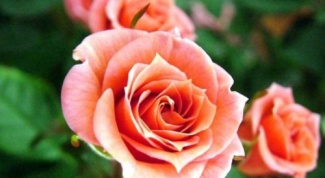 Что делать, если замерзла роза