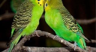 Как выбрать пару попугаю