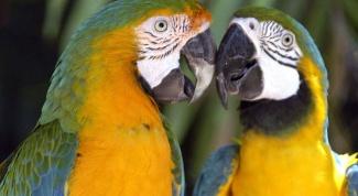 Как остановить кровь у попугая