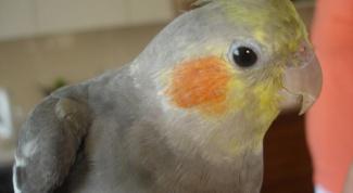 Как научить говорить попугая-кореллу