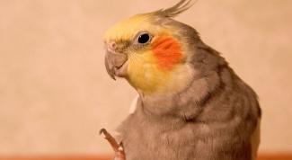 Каким способом определить возраст попугая корелла