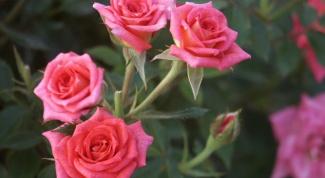 Как пересадить декоративную розу