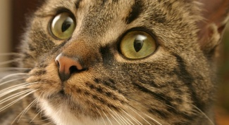 How to identify ringworm in the cat