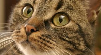 Как определить лишай у кота