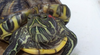 How to treat the eyes of the red-eared terrapins