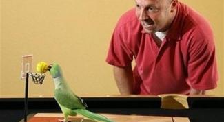 Как научить попугая играть