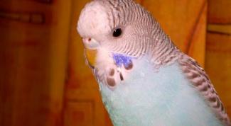 Как узнать, сколько лет волнистому попугаю