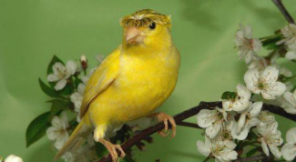 How to distinguish a Canary from Canary