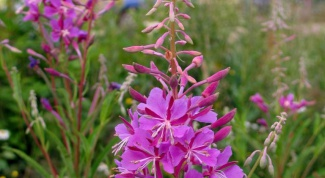 How to gather willow-herb