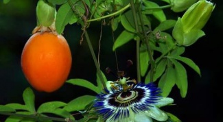How to grow Passiflora from seed