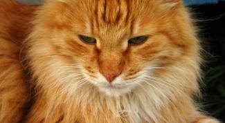 Как у кошки определить срок беременности