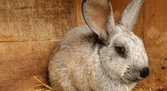 Как мерить температуру кроликам