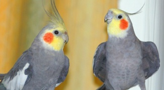 Как научить попугая Нимфу разговаривать