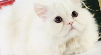 Как мыть персидскую кошку