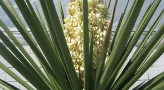 How to transplant a Yucca