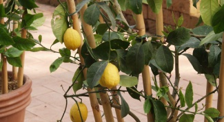 How to grow lemon from cuttings