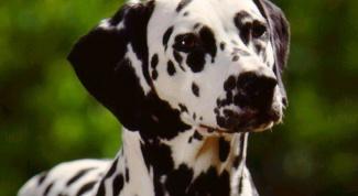 Как восстановить родословную на собаку