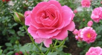 Как вырастить розы в Сибири