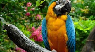 Как научить самку попугая говорить