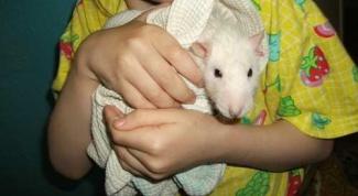 Как купать домашних крыс