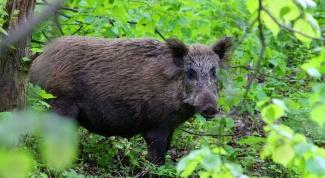 Where to shoot a wild boar