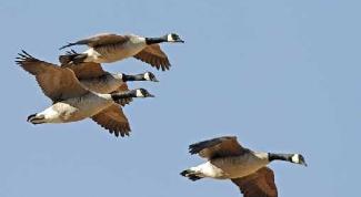 Куда улетают дикие гуси и утки