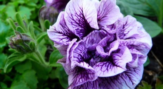 When to plant Petunia