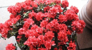 How to revive Azalea