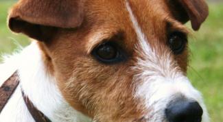 Как вытаскивать клеща у собаки