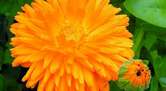 As calendula tincture to gargle