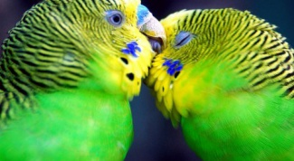 How can you teach a wavy parrot to talk