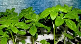 Как лучше выращивать рассаду