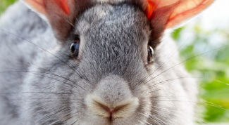 How to distinguish rabbit meat