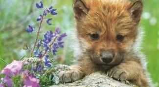 Как нарисовать волчонка