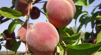 How to grow peach
