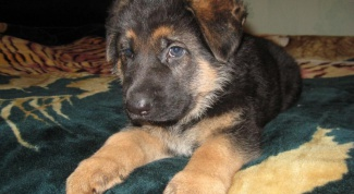 How to identify a German shepherd puppy