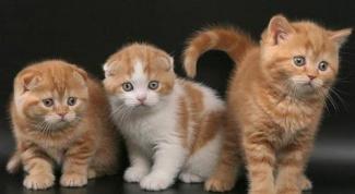 Как назвать вислоухую кошку