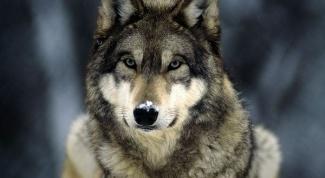 Как вырастить волка