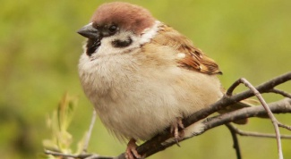 How to scare sparrows