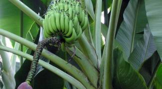 Как вырастить банановую пальму