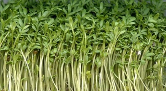 Как вырастить на подоконнике салат