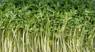 How to grow on a windowsill salad
