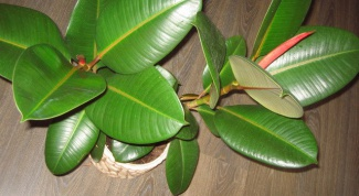 How to water a ficus