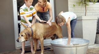 Как мыть лабрадора