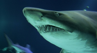 Как вести себя с акулами