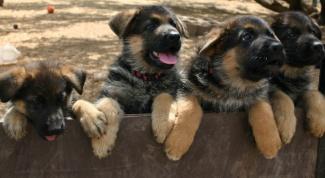 Как дрессировать щенка овчарки