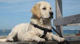 Как надеть поводок на собаку