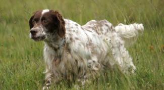 Как остановить течку у собаки